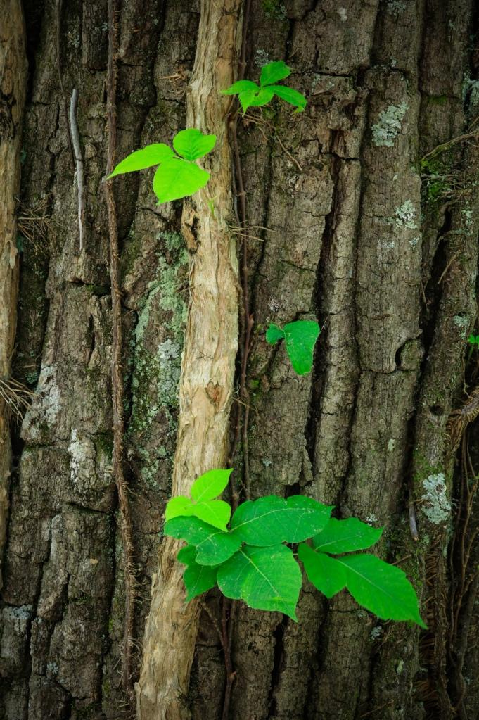 A vine climbs for the sunlight